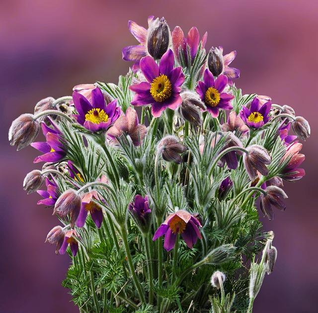 Flower, Pasque Flower, Spring, Plant, Macro, Violet