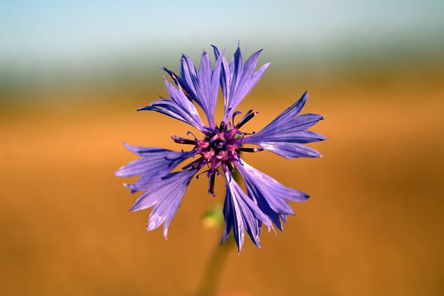 Cornflower, Flower, Blue, Plant, Wildflowers