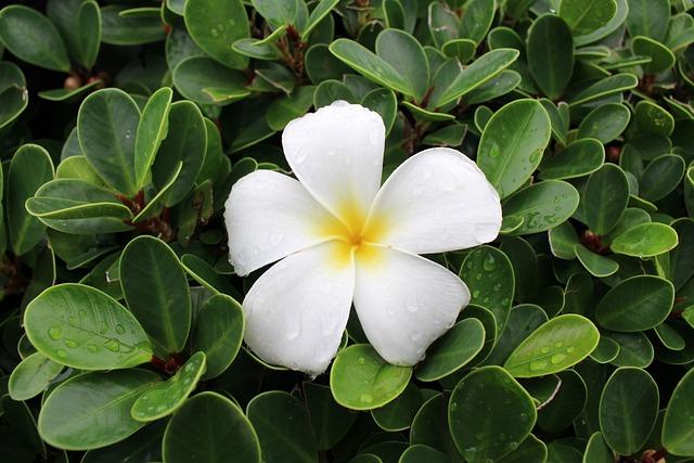 Flower, Plumeria, Drop, Green