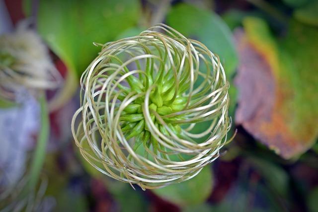 Clematis, Seeds, Pods, Flower, Spiral, Blossom, Bloom