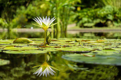 Water Lily, Flower, Flowers, Pond, Pond Plant