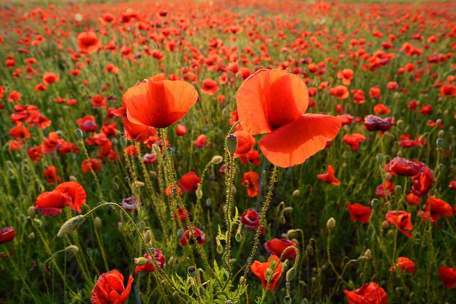 Poppy, Meadow, Flower, Spring, Field, Red, Plant