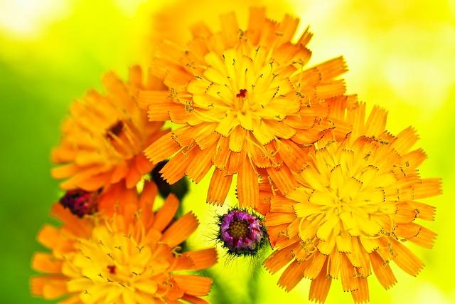 Flower, Prairie Flower, Wild Flower, Daisies, Bloom