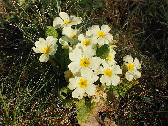 Primrose, Flower, Blossom, Bloom, Bright Yellow, Pastel