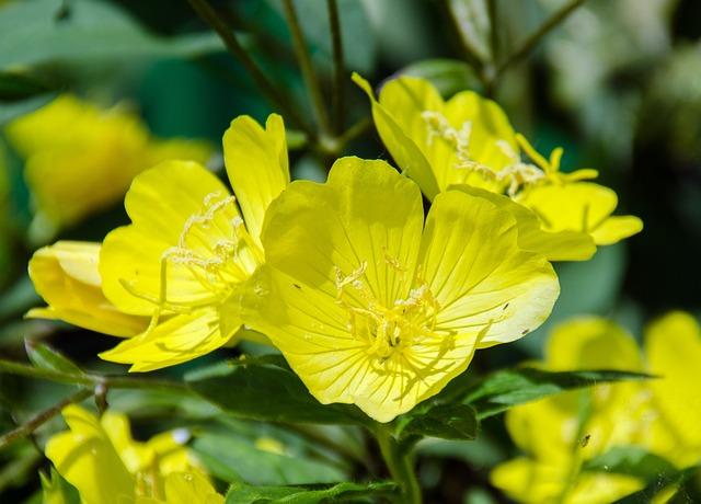 Primrose, Evening Primrose, Plant, Flower