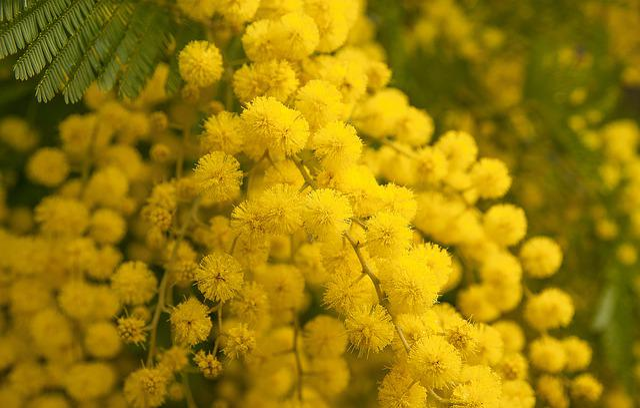 Flower, Mimosa, Spring, Provence, Garden