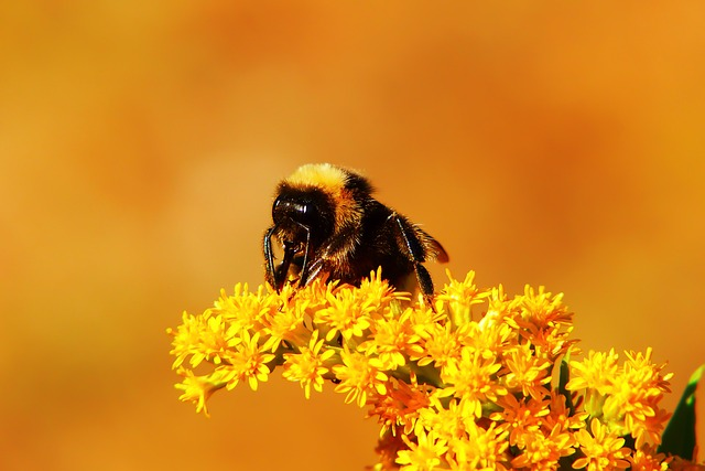 Bumblebee Gas, Pszczołowate, Flower, Apiformes