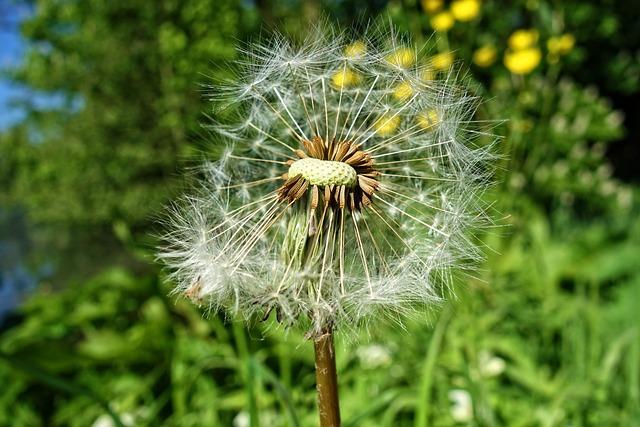 Puffball, Dandelion, Dandelion Puffball, Flower, Seed