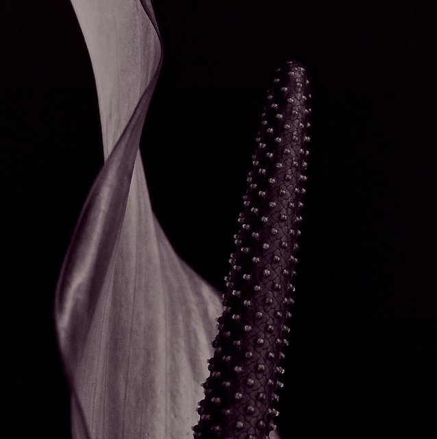 Anthurium, Flower, Blossom, Bloom, Purple, Macro
