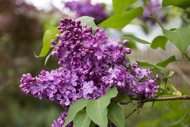 Lilac, Bush, Blossom, Bloom, Purple, Flower, Nature