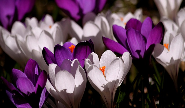 Crocus, Flower, Spring, Purple, Blossom, Bloom, Close
