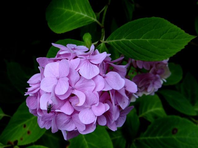Hydrangea, Flower, Purple, Blossom, Botanical