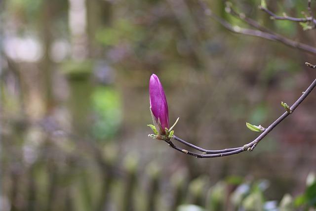 Magnolia, Flower, Purple, Spring, Purple Flowers
