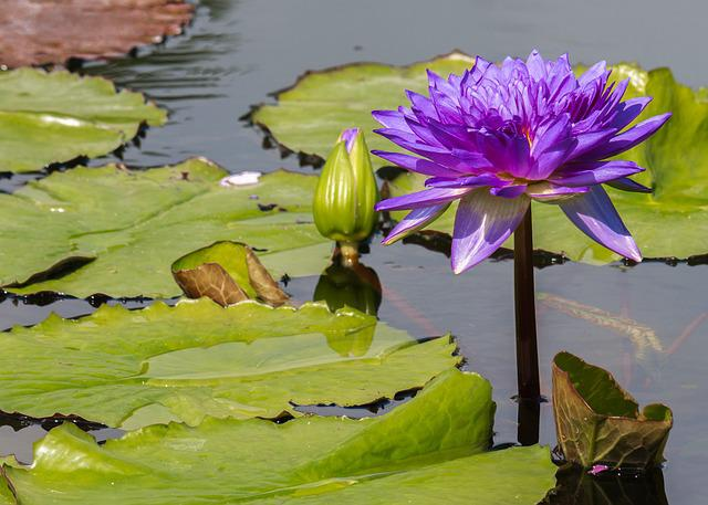 Flower, Water Lily, Lily Pond, Purple, Plant