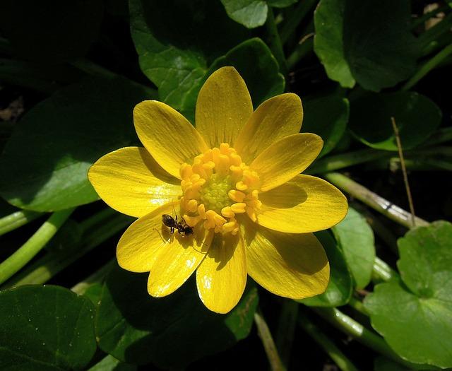 Salad Buttercup, Ranunculus Ficaria, Flower