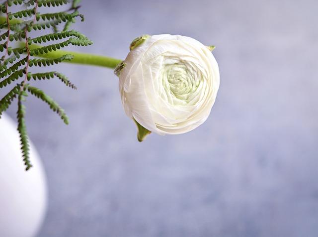 Ranunculus, White, White Ranunkel, Flower, White Flower