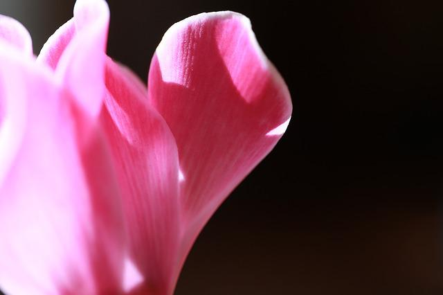 Flowers, Flower, Cyclamen, Flower Garden, Red, Affix