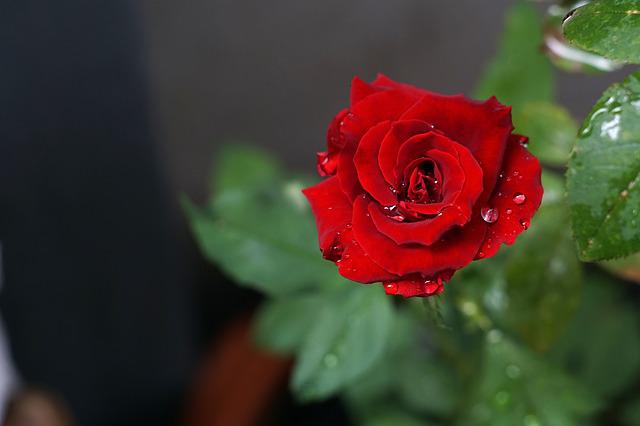 Rose, A Rose, Flower, Red Flowers
