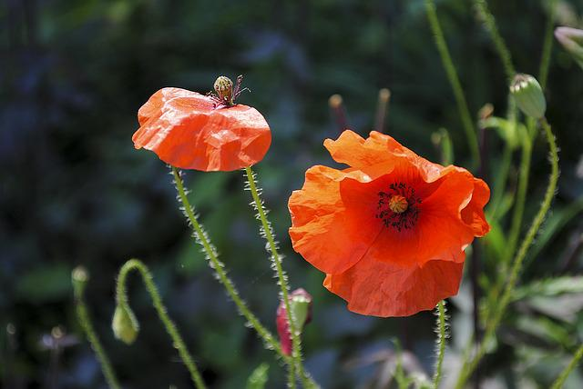 Poppy, Red, Red Poppy, Flower, Klatschmohn, Nature