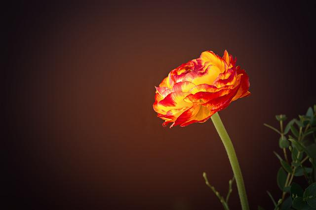 Ranunculus, Flower, Yellow Orange, Orange Flower, Red