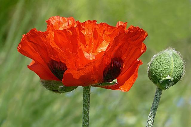 Flower, Poppy, Poppy Flower, Papaver Rhoeas, Red