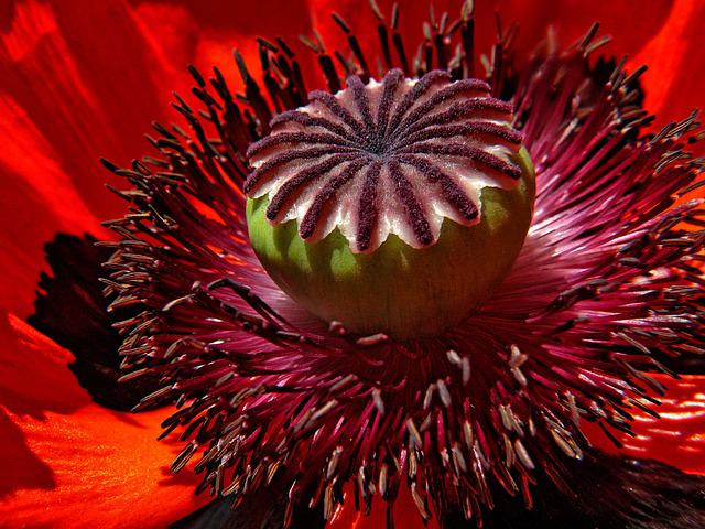 Poppy, Flower, Red, Macro, Blossom, Bloom, Red Poppy