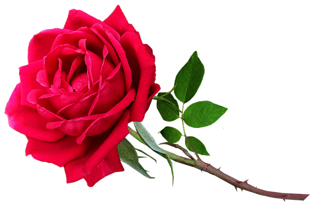Flower, Red, Rose, Stem, Valentine, Romantic