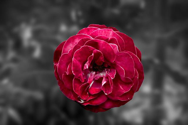 Red, Rose, Flower, Love, Red Roses, Red Rose, Romance