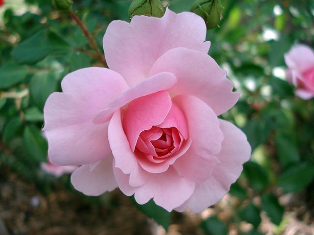 Rose, Rosaceae, Flower, Pink, Garden, Blooming, Thorny