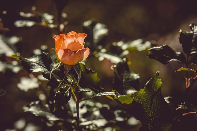 Rose, Back Light, Sun, Flower, Blossom, Bloom, Orange