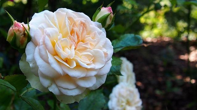 Rose, Flower, Rose Flower, Rose Petals, Blooms, Plant