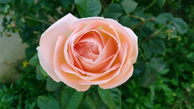 Rose, Flower, Nature, Leaves, Plant