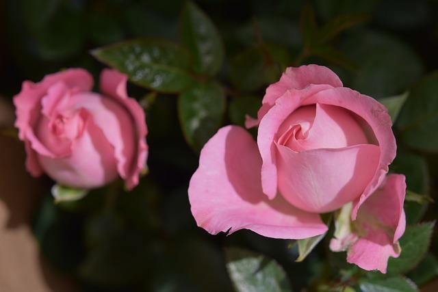 Flower, Roses, Petal, Rose Spicy, Offer Pink Color