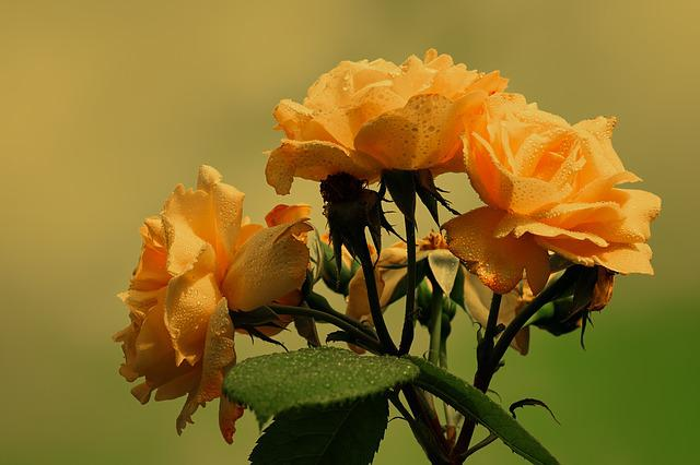 Roses, Bloom, Yellow, Orange, Flower, Raindrop