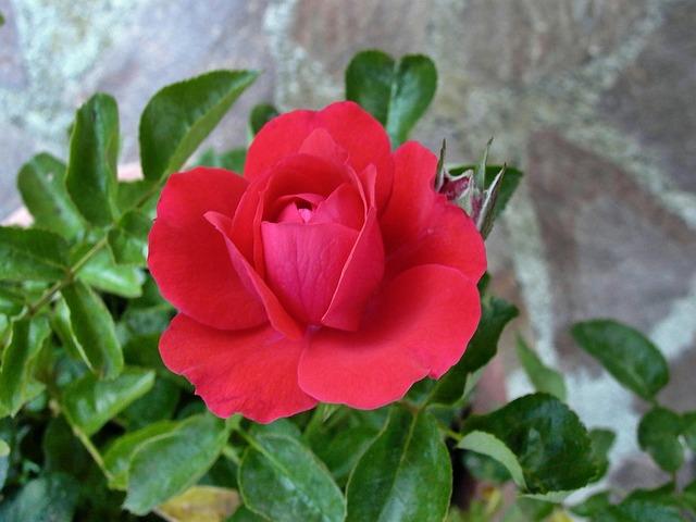 Rosa, Rossa, Flower