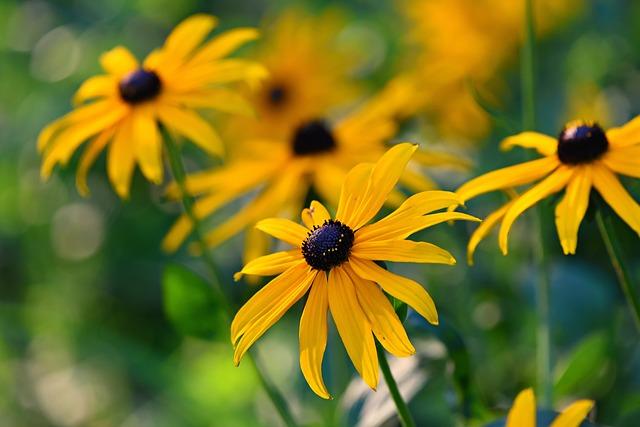 Rudbeckia, Black-eyed Susan, Flower, Plant