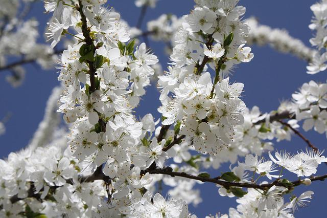 Flower, Branch, Cherry Wood, Tree, Plant, Season