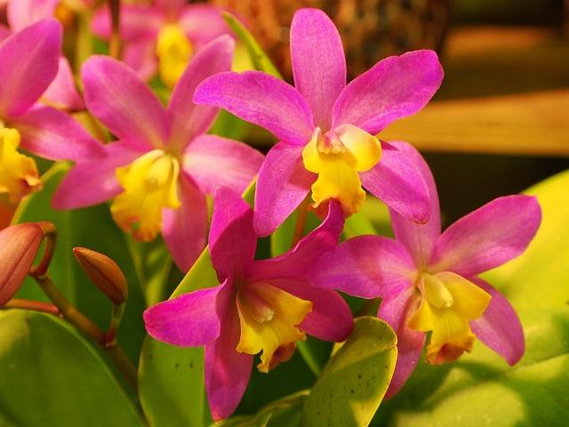 Guardian Liya, Orchid, Flower Seed