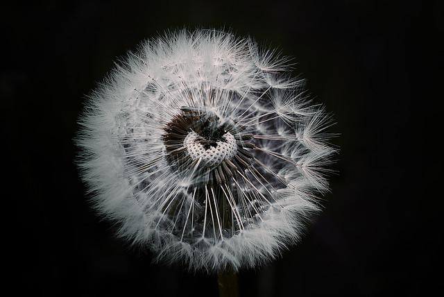 Dandelion, Flower, Plant, Pointed Flower, Seeds