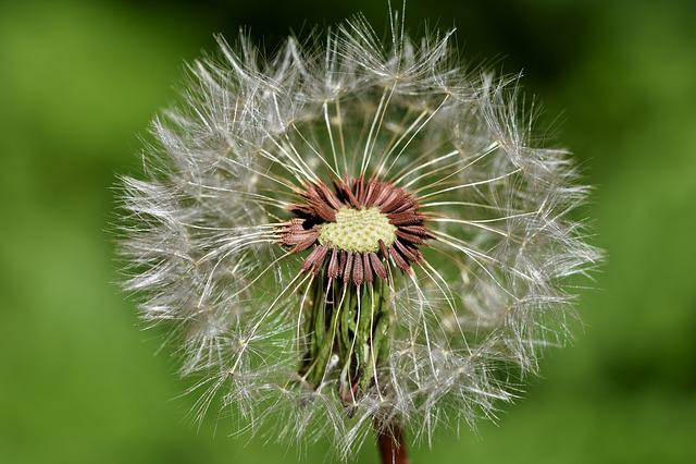 Dandelion, Seeds, Pointed Flower, Flower, Macro, Faded