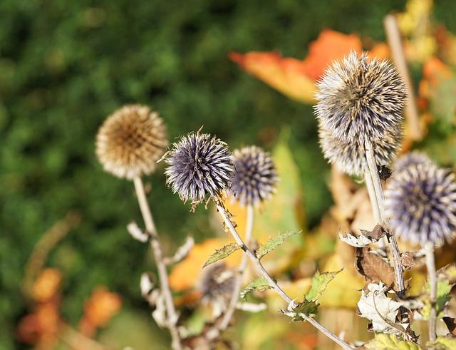 Diestel, Silver Thistle, Flower, Blossom, Bloom