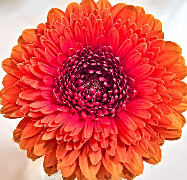 Chrysanthemum, Flower, Single Bloom, Composites