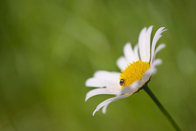 Beetle, Insect, Tiny, Small, Blossom, Bloom, Flower