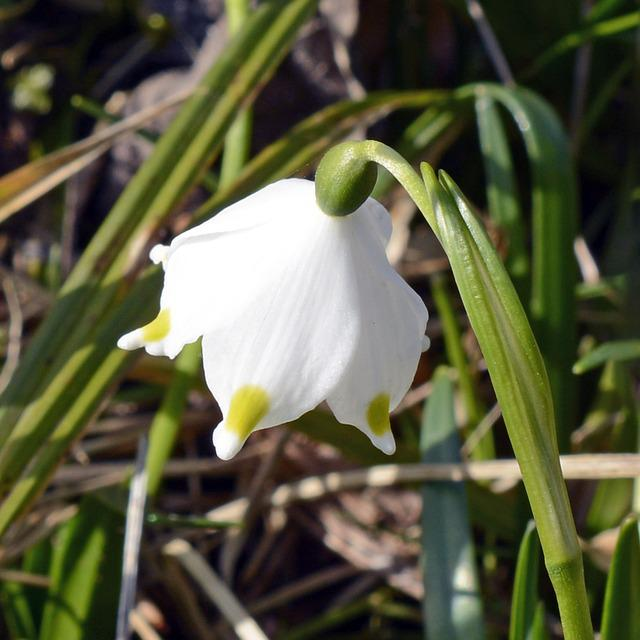 Snowflake, Lily Of The Valley, Flower, Blossom, Bloom