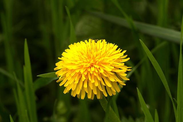 Sonchus Oleraceus, Yellow, Flower, Nuns