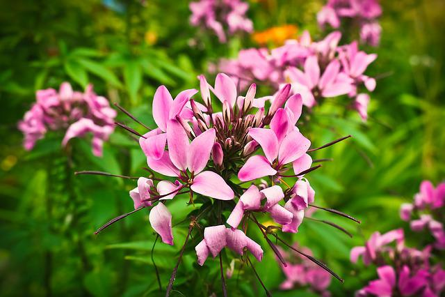 Spider Plant, Flower, Cleome, Blossom, Bloom