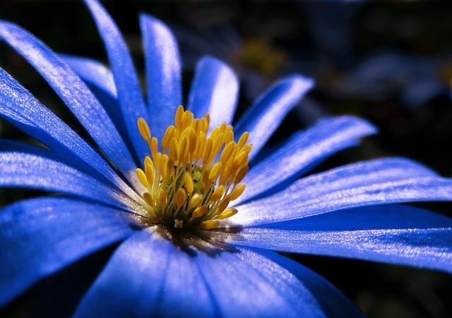 Anemone, Blue, Plant, Blossom, Bloom, Spring, Flower