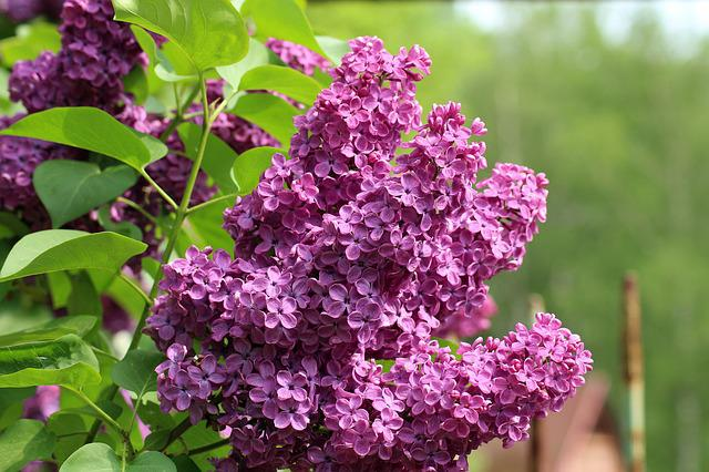 Without, Lilac, Violet, May, Spring, Bush, Flower