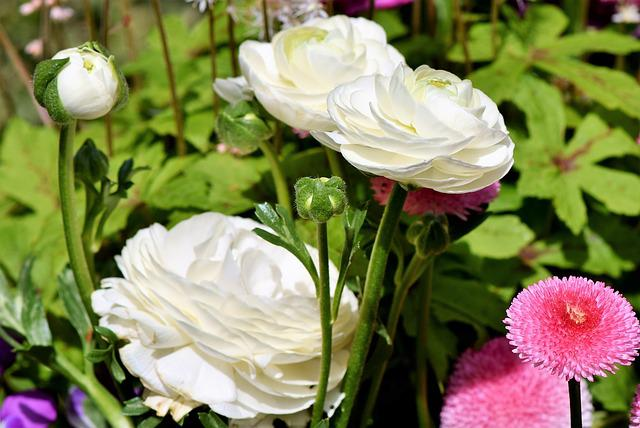 Ranunculus, Flower, Blossom, Bloom, Spring Flower