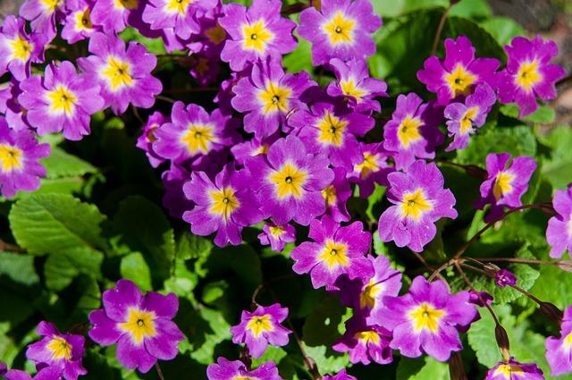 Flowers, Spring, Bloom, Violets, Flower, Summer, Plant